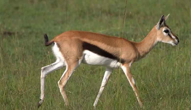 https://upload.wikimedia.org/wikipedia/commons/2/2a/Thomson%27s_Gazelle_-_Masai_Mara_Park_-_Kenya.jpg