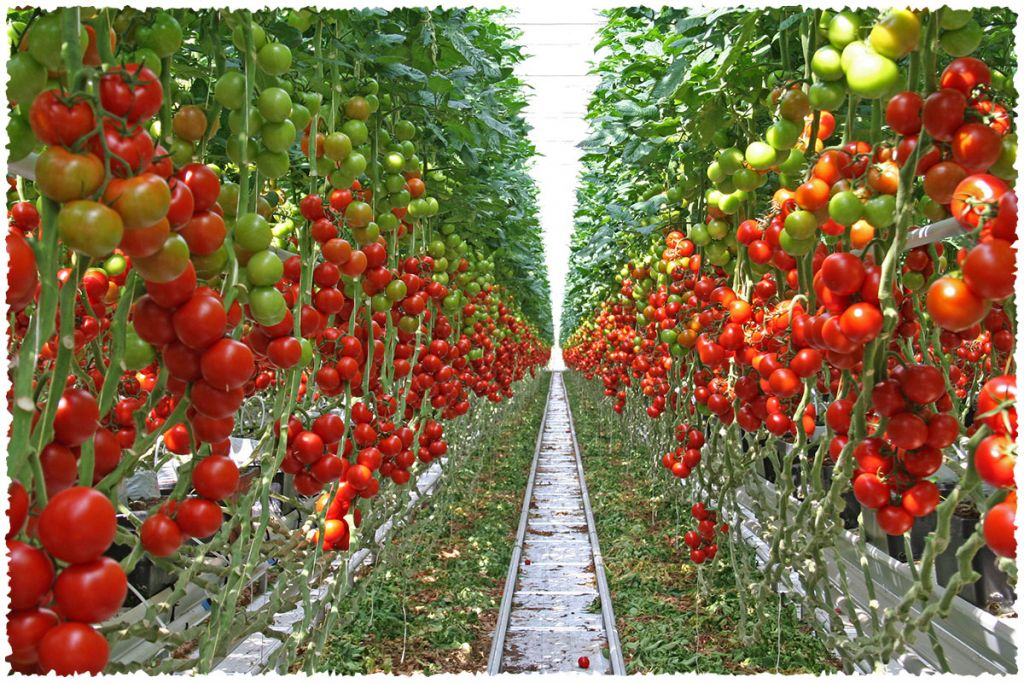 Van Gog Kwekerijen Wittenberg Gemüse