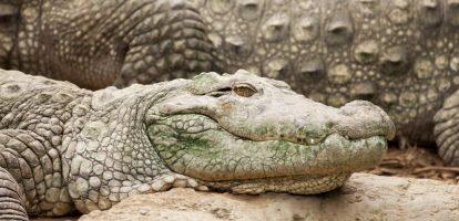 Rik Vera MT krokodil
