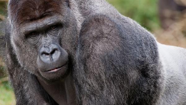Gorillaman Bauwi 2011 Theo Kruse MT kantoorhond Constanze Mager