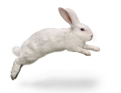 witte konijn