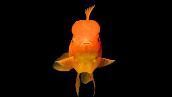 concentratie concentreren geheugen als een goudvis